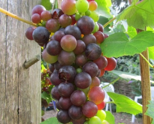 Druivenranken in de tuin