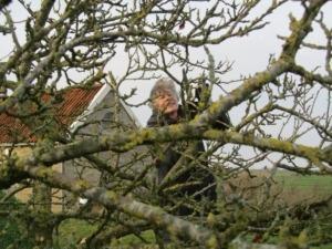 Snoeien oude fruitboom